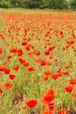 Poppy Field Bokeh Royaltyfri Fotografi