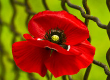 Poppy. Field of bright red corn poppy flowers. Red poppy.  Papaver rhoeas common names include corn poppy. red poppy on a green ba Royalty Free Stock Photo