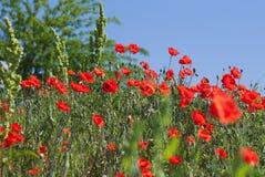 Poppy field with bush and blue sky Stock Photo
