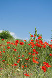 Poppy field with bush and blue sky Royalty Free Stock Image
