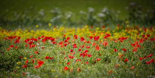 Poppy field close group of poppies mixed wild flowers Stock Image
