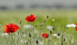 Poppy field - close up Royalty Free Stock Photos