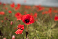 Poppy Field with Close Up Poppy Blossom and Blurry Background. S Royalty Free Stock Images