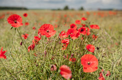 Poppy Field with Close Up Poppy Blossom and Blurry Background. S Royalty Free Stock Photography