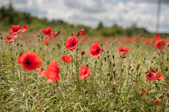 Poppy Field with Stormy Royalty Free Stock Images