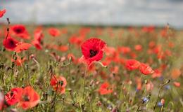 Poppy Field with Stormy Clouds Royalty Free Stock Photos