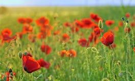 A poppy field close-up Royalty Free Stock Photo