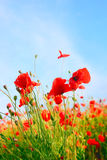 Poppy field color background Royalty Free Stock Photography