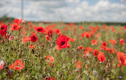 Poppy Field con tempestoso Fotografie Stock