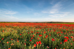 Poppy Field in Cornwall Stock Images