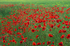 Poppy field in countryside. Royalty Free Stock Photography