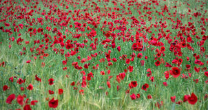 Poppy field. A field is covered with poppies in the summer Royalty Free Stock Image