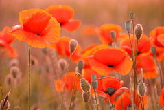 Poppy field in Crimea Royalty Free Stock Photography
