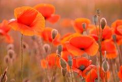 Poppy field in Crimea royalty free stock photography