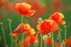 Poppy field in Crimea Royalty Free Stock Photos
