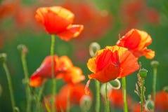 Poppy field in Crimea. Blossoming poppy field in early June Royalty Free Stock Photos