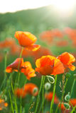 Poppy field in Crimea Royalty Free Stock Images