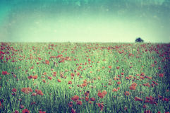 Poppy Field - Cross Processed. A photograph of wild poppies in a poppy field with tree on the horizon, faded to give aged, vintage, painterly appearance and Royalty Free Stock Photo