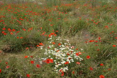 Poppy field with daisies. Sea of red poppies growing wild in a field together with a collection of vibrant long stemmed daisies royalty free stock image