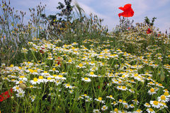 Poppy in a field of Daisies (2) Royalty Free Stock Photography