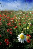 Poppy field and daisy. In a sunny day whit blue sky Royalty Free Stock Photos