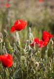 Poppy field at day light Stock Images