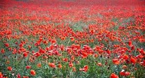 Poppy Field de florecimiento en el› Å™ice, República Checa de LitomÄ foto de archivo