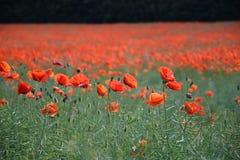Poppy Field de florecimiento en el› Å™ice, República Checa de LitomÄ imagen de archivo