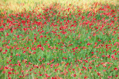 Poppy Field Digital Art Background Stock Image