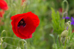 Poppy field durring spring Stock Photo