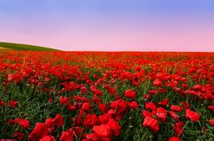 Poppy Field royalty free stock photos