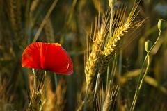 Poppy field and ears of grain Stock Images