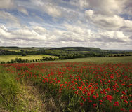 Poppy field in English countryside landscape. View of poppies in wheat field in English countryside landscape Royalty Free Stock Photos