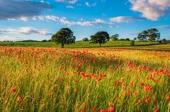 Poppy Field ensolarado Imagens de Stock