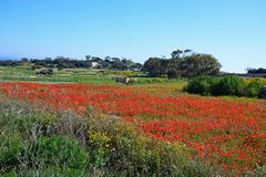 Pretty poppy field near Dingli Cliffs, Malta. Poppy field and farmland near Dingli Cliffs, Malta, Europe Stock Images