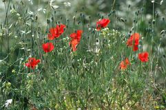 Poppy field Royalty Free Stock Photography