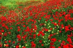 Poppy field Stock Photography
