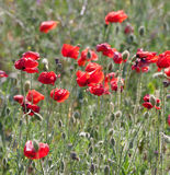 Poppy field with flowering red poppies Royalty Free Stock Photo
