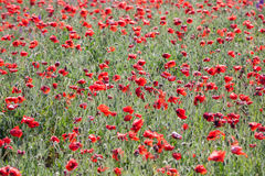 Poppy field with flowering red poppies Stock Photography