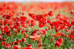 Free Poppy Field. Flowers Background. Beautiful Field Of Red Poppies Stock Images - 103309334