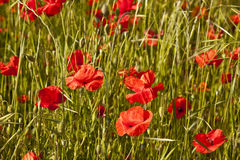 Poppy field in France Stock Photography