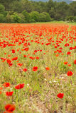 Poppy Field France Stock Photography