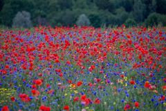 Poppy field in full bloom stock images