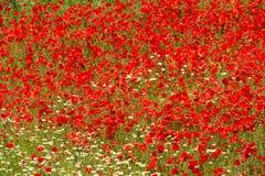 Poppy Field Full Frame Stock Photos