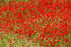 Poppy field full frame Stock Photos