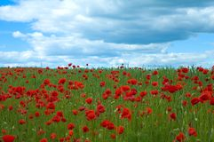 Poppy field in green Stock Photography