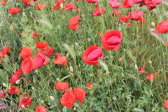 Poppy field and green grass Stock Image