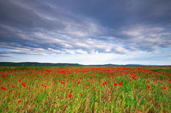 Poppy field in Hungary Royalty Free Stock Images