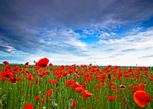 Poppy field in Hungary Royalty Free Stock Image
