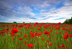 Poppy field in Hungary Royalty Free Stock Photos